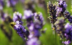 Close up of lavender flowers --- Image by © Philip Lee Harvey/cultura/Corbis
