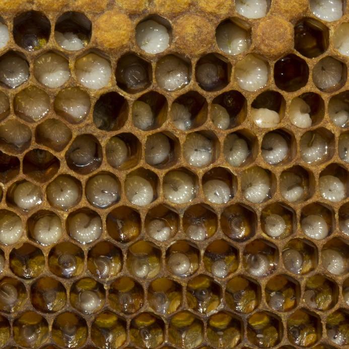 larves d'abeilles