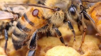 varroa phorétique