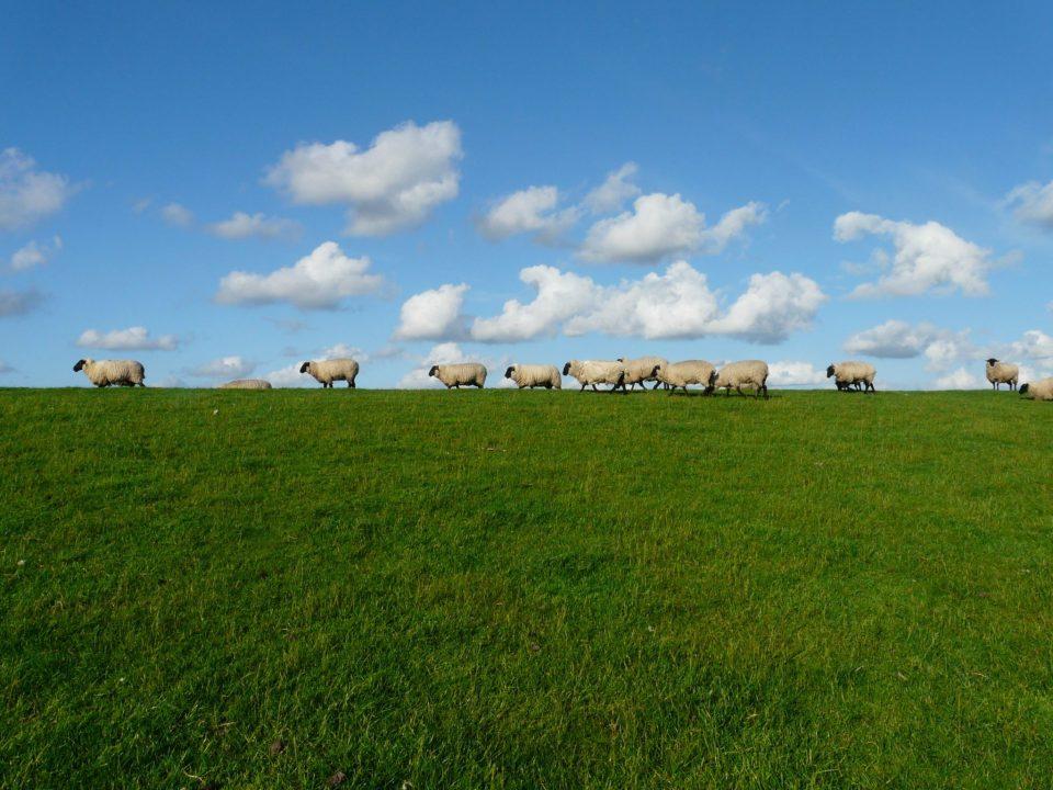 Pairie avec moutons