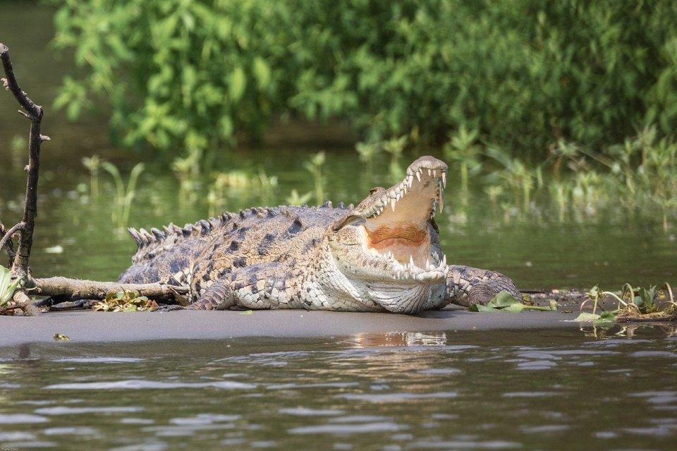crocodile pour une représentation en peinture