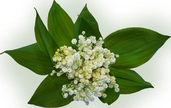 muguet brin de muguet fleur mariage kate middelton william fleurs fête du travail bouquet de muguet