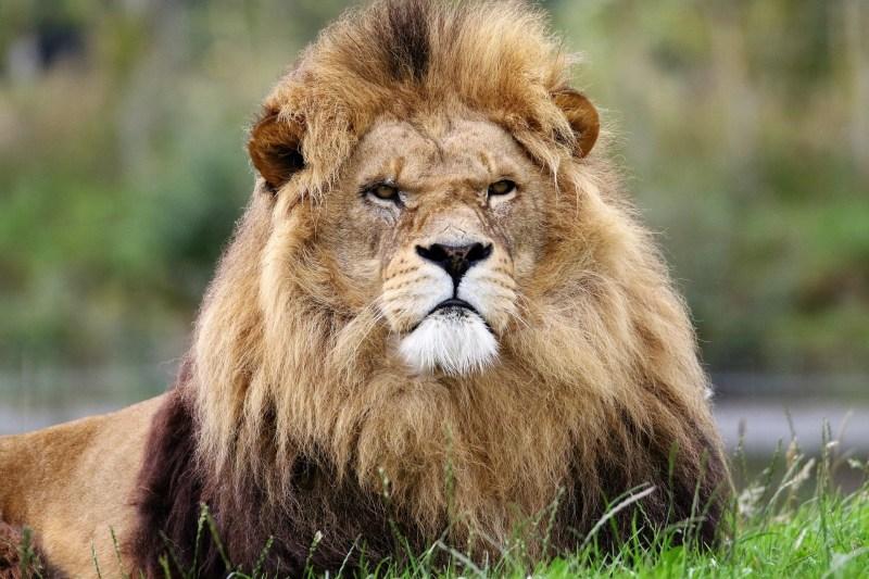 Lion fronçant les sourcils et donnant l'air très impressionnant et très sûr de lui.