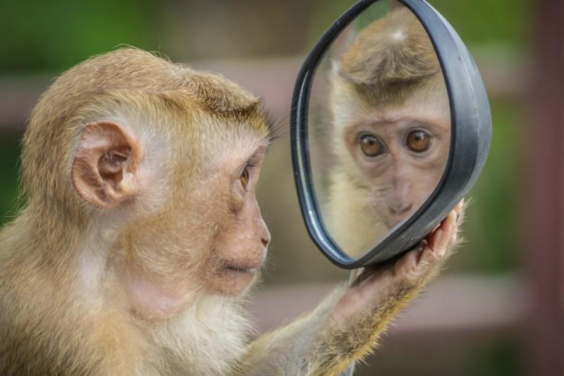 Le singe se regarde dans un miroir et que découvre-t-il dans son reflet ?