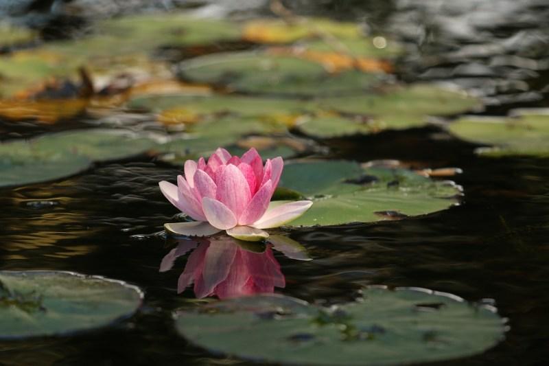 Fleur de lotus - Image parPexels de Pixabay