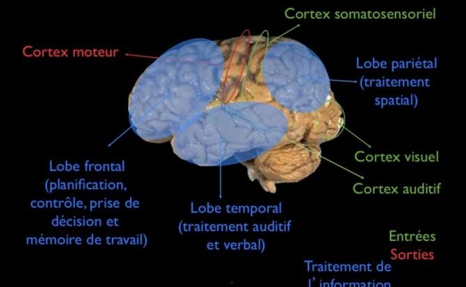 architecture cérébrale
