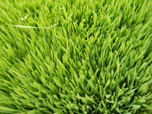 jus herbe de blé