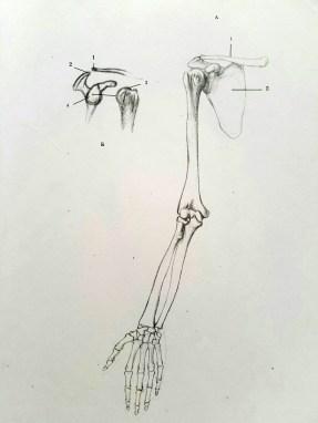 dessiner les mains. anatomie 6