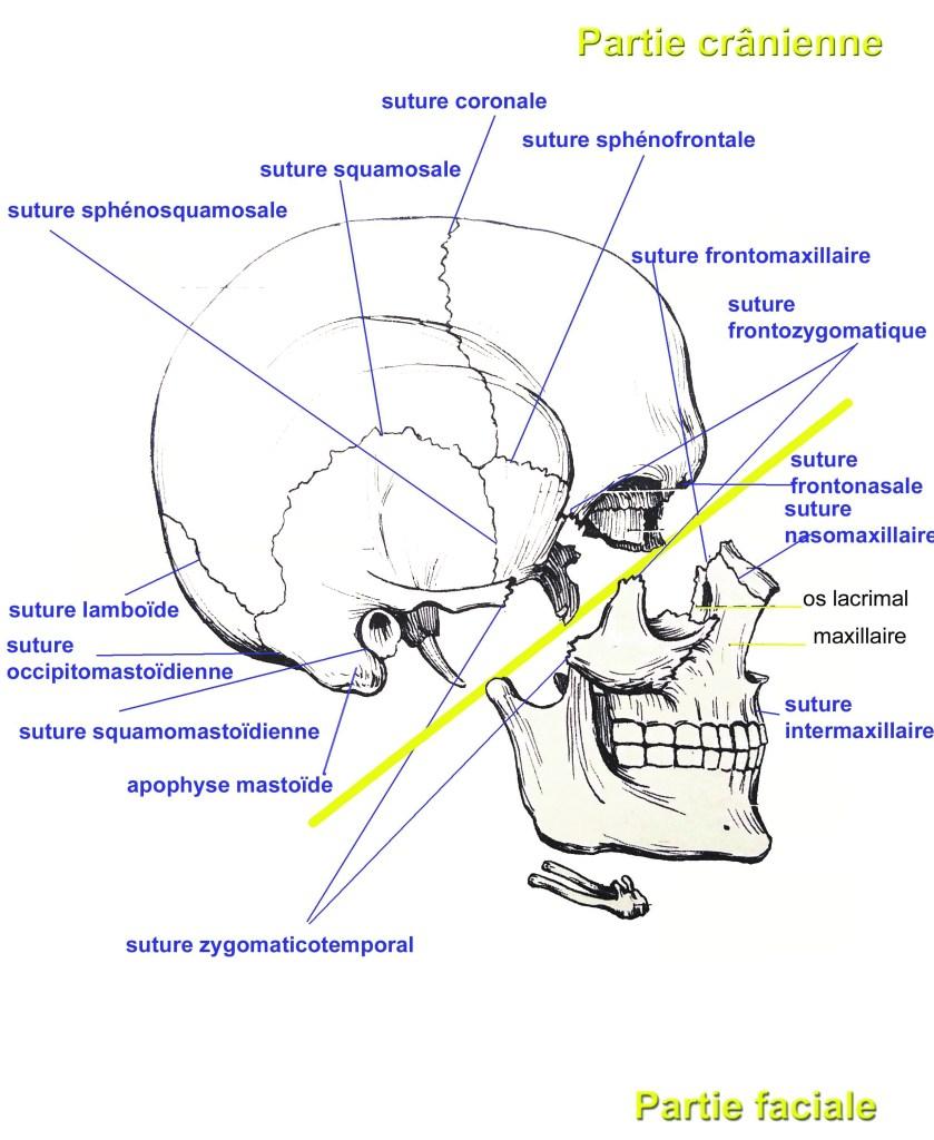 Les os du crâne. Partie crânienne et la partie faciale de la tête