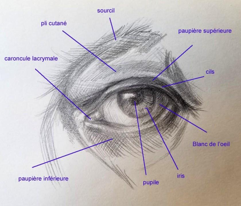 l'anatomie externe  artistique de l'oeil.