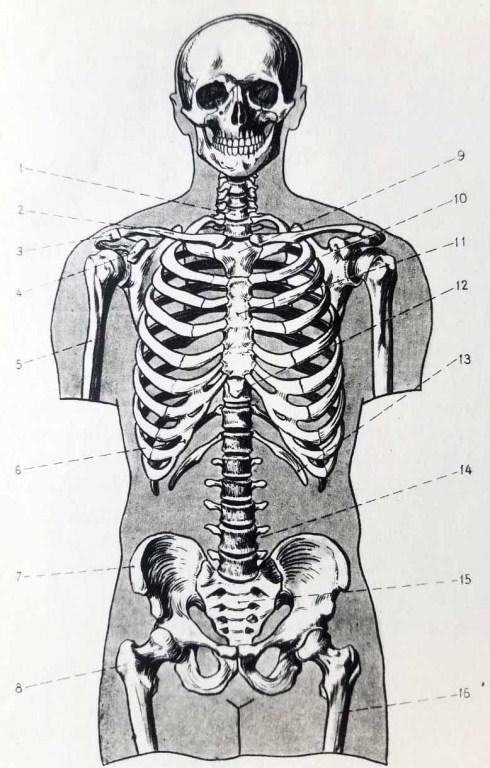 Anatomie artistique. Squelette de face. Os du squelette du torse humain.
