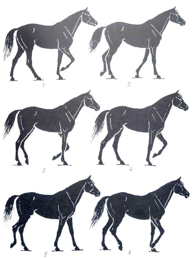 Les allures du cheval. Le pas.