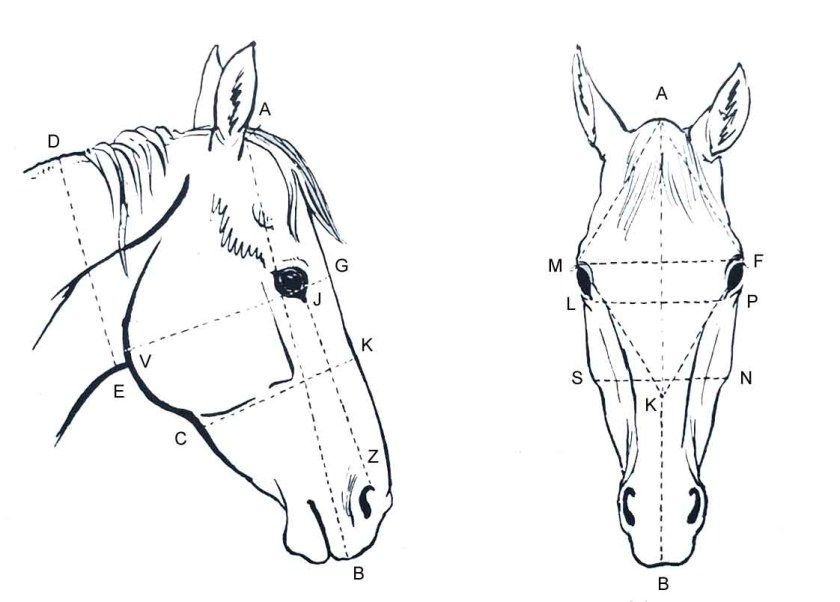 Apprendre à dessiner un cheval. Les proportions de la tête du cheval.