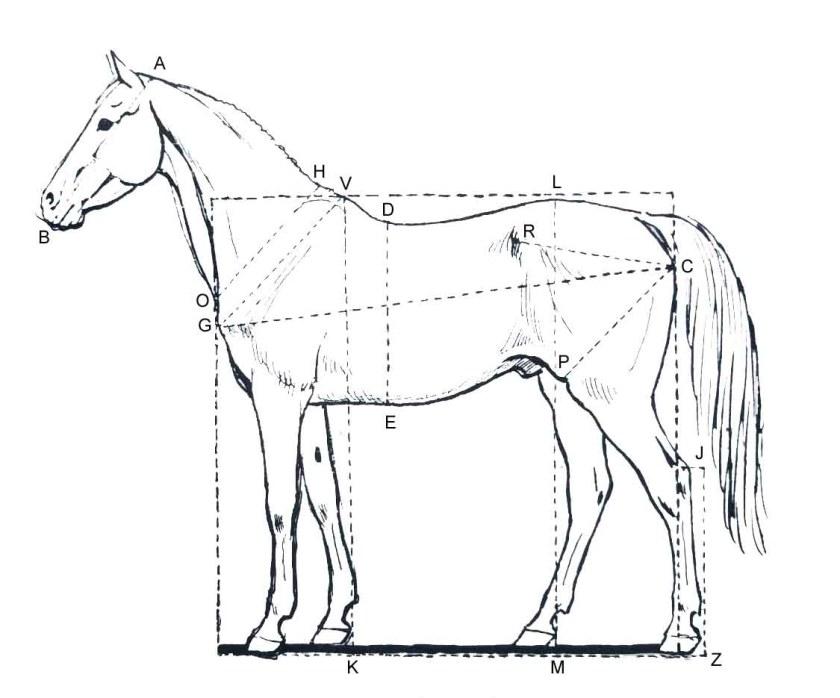 Apprendre dessiner un cheval. Les proportions du cheval