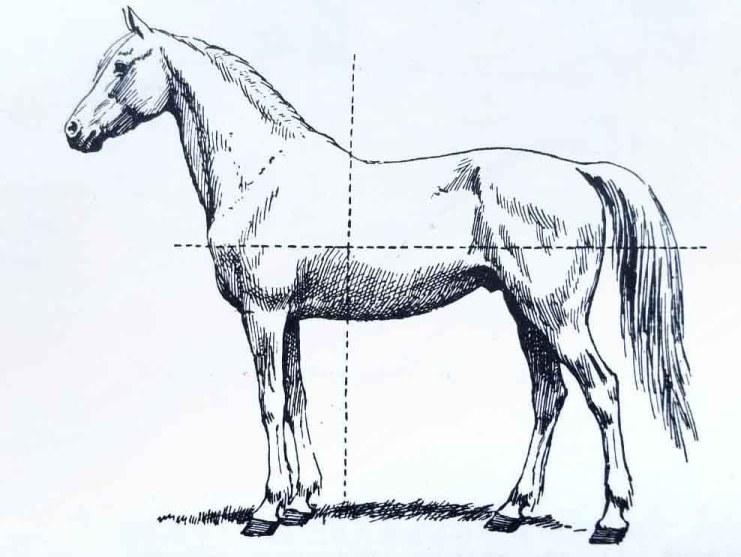 Apprendre à dessiner un cheval. Le centre de gravité du cheval