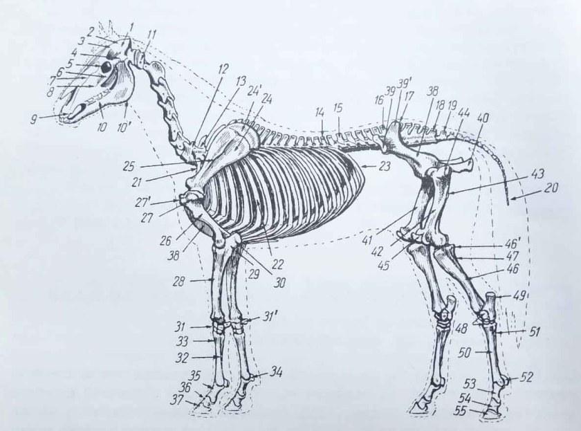 squelette du cheval