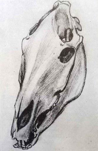 Le crâne du cheval