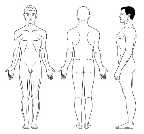 dessin anatomie proportions corps humain