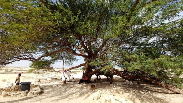 Bahrains legandärer Tree of Life.jpeg