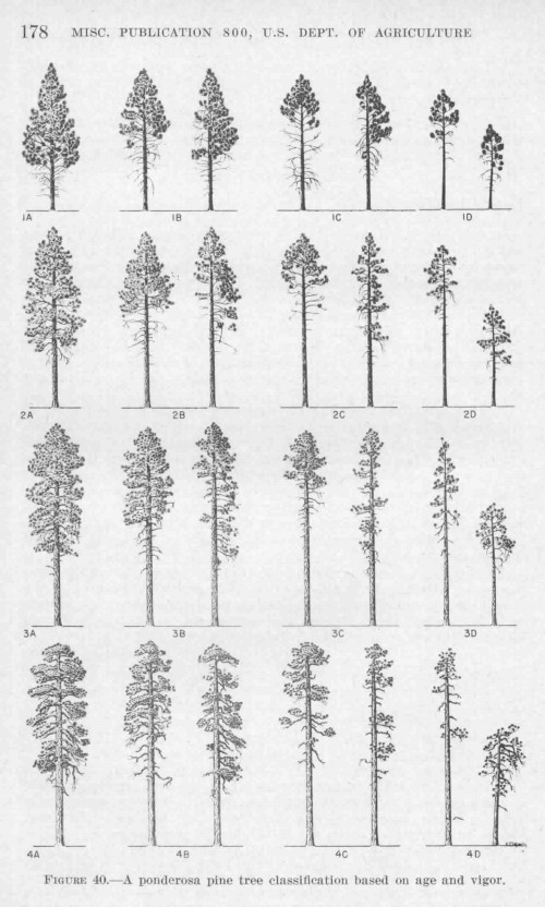 small resolution of keen s tree classification for ponderosa pine