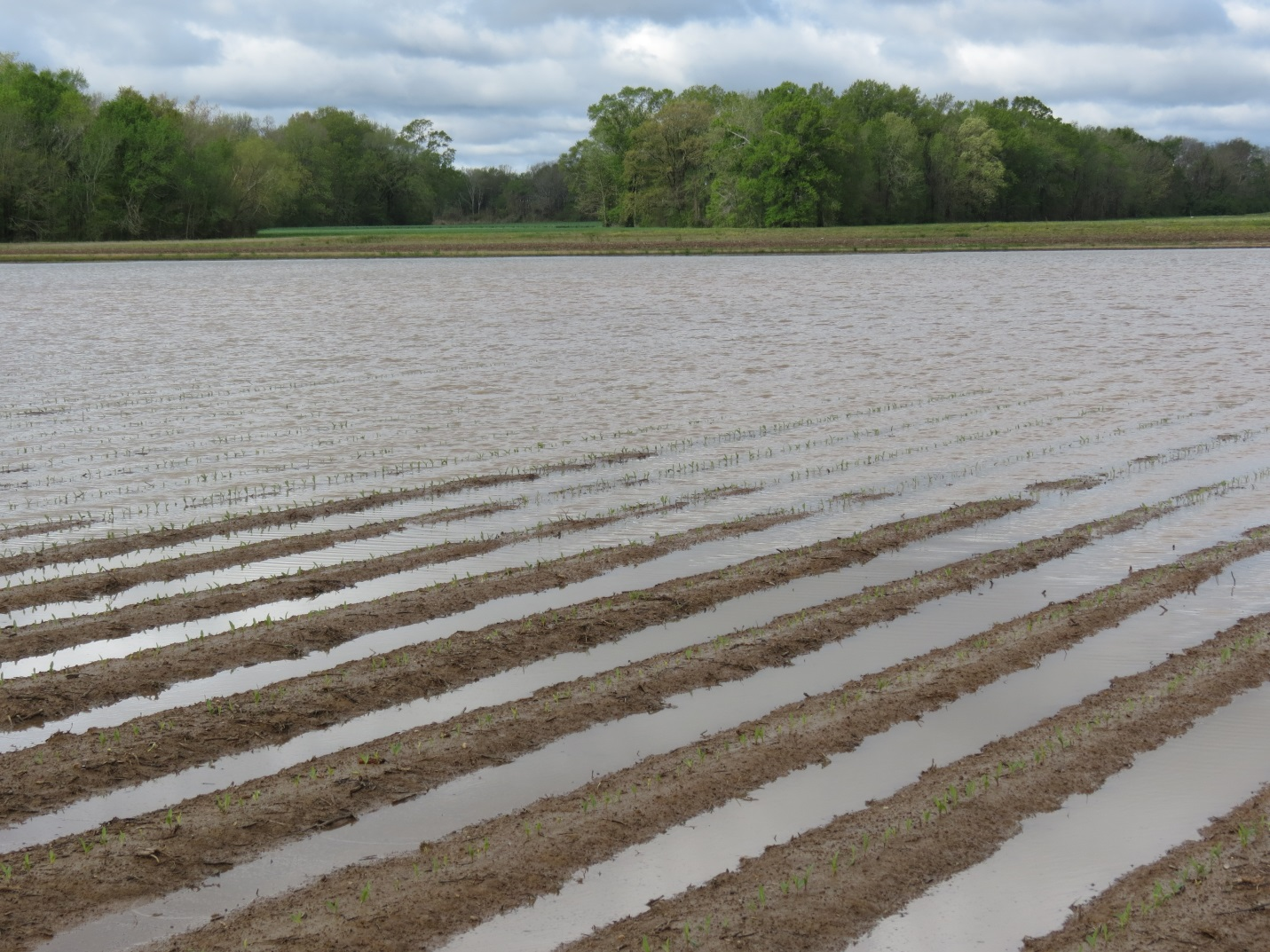 Flooded fields cause concern for Louisiana farmers  LSU AgCenter