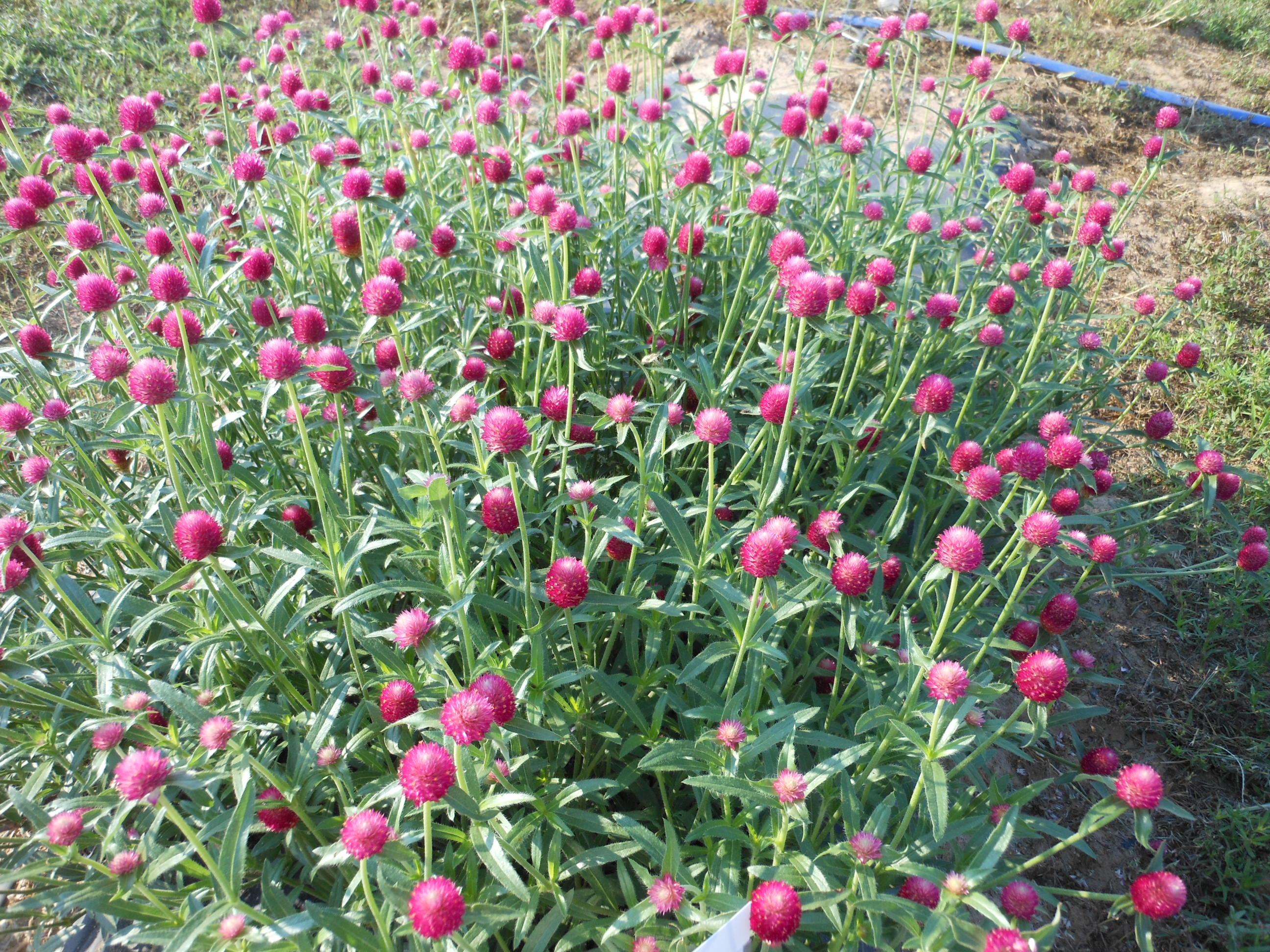 New Gomphrena Varieties Offer More Landscape Options