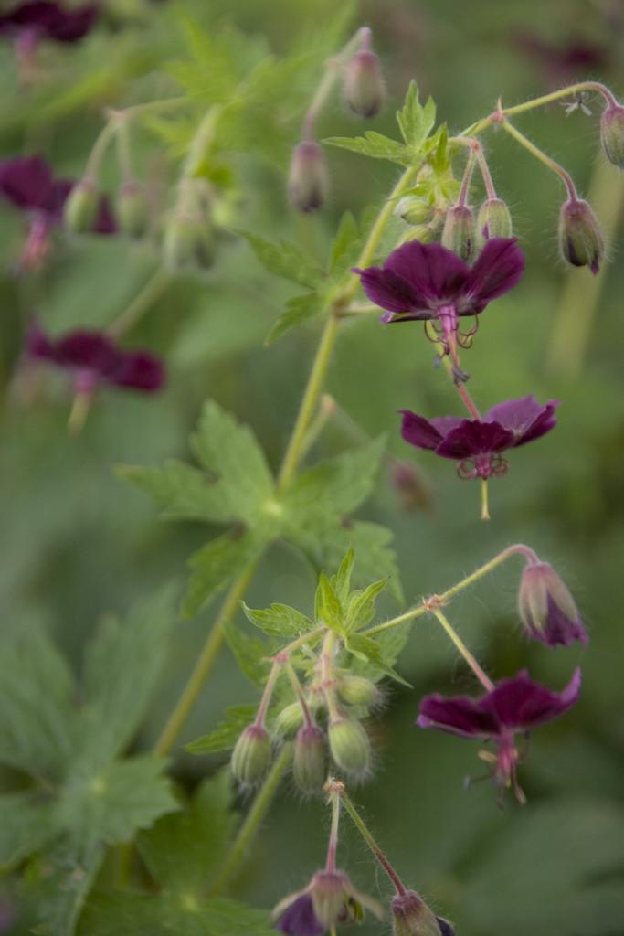 Geranium phaeum  black widowRHS Gardening