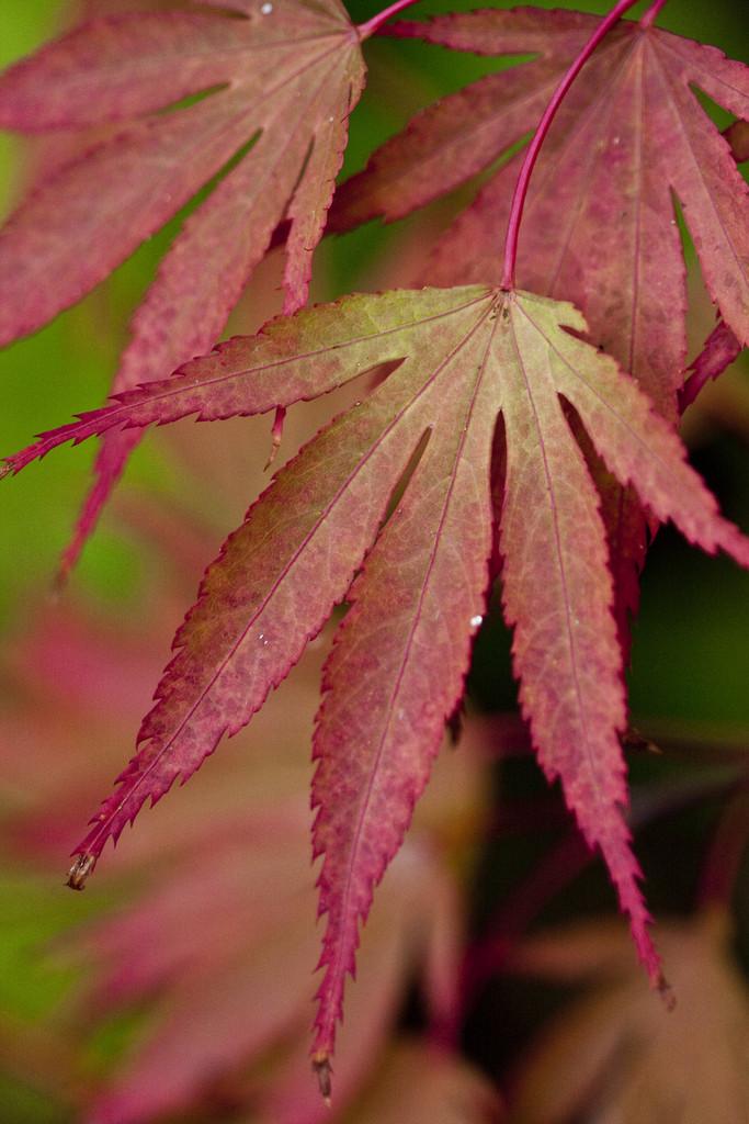 Acer palmatum Chitoseyama M  Japanese maple Chitose