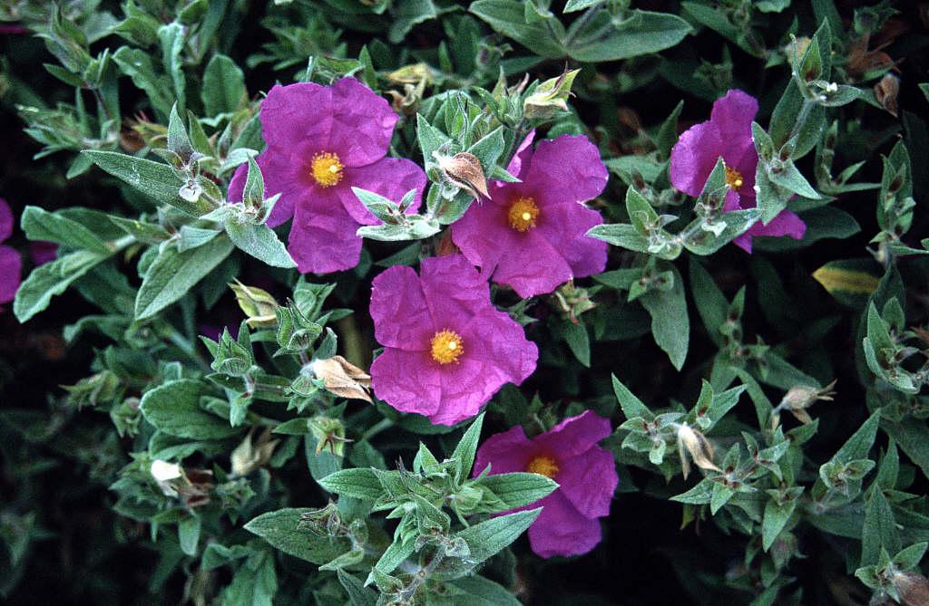 Cistus x pulverulentus Sunset  rock rose SunsetRHS Gardening