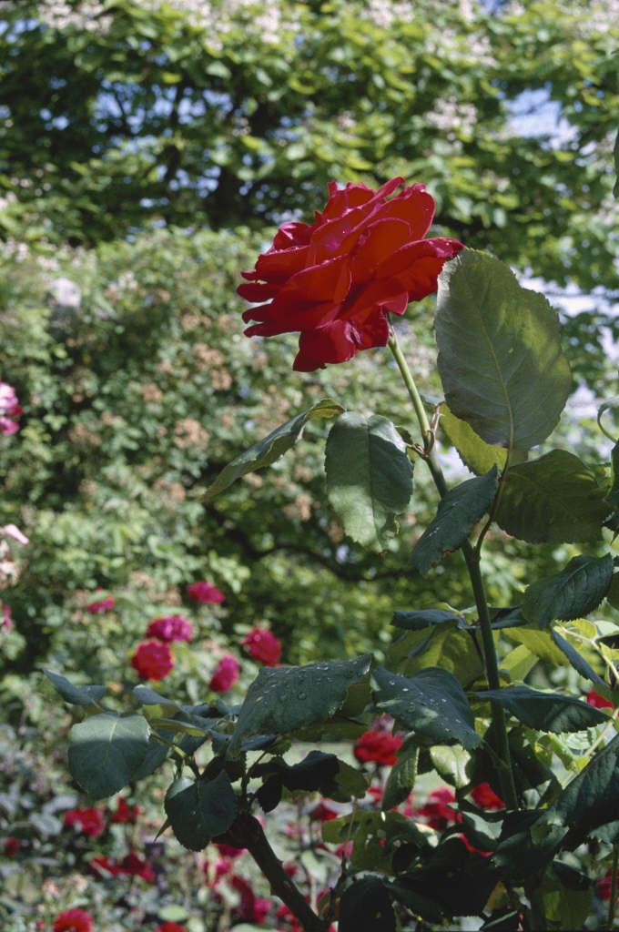 Ruby Anniversary Rose