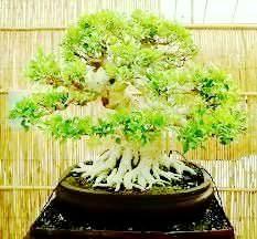 Acer Palmatum, 4 momenti di bellezza