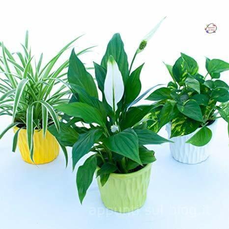 16 Piante e fiori purifica aria in casa 1 dracena