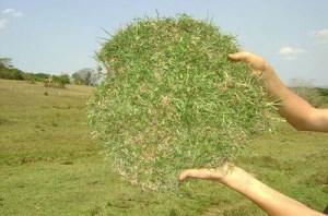 Como plantar Grama Batatais
