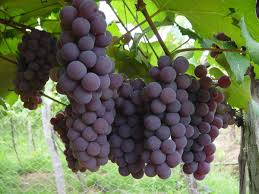como plantar uva