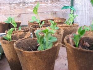 Como e quando transplantar as mudas para o jardim Ou Horta?