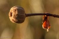 semilla-jara