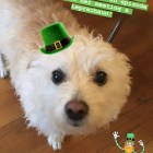 "The real Birdie! I just love this little dog who belongs to my brother. She's very dear to my heart so I wrote ""Birdie and the Unexpected Guest"" about her meeting a LEPRECHAUN. Happy St. Paddy's Day, folks. https://aprileight.com/2017/03/16/ep-21-birdie-and-the-unexpected-guest/"