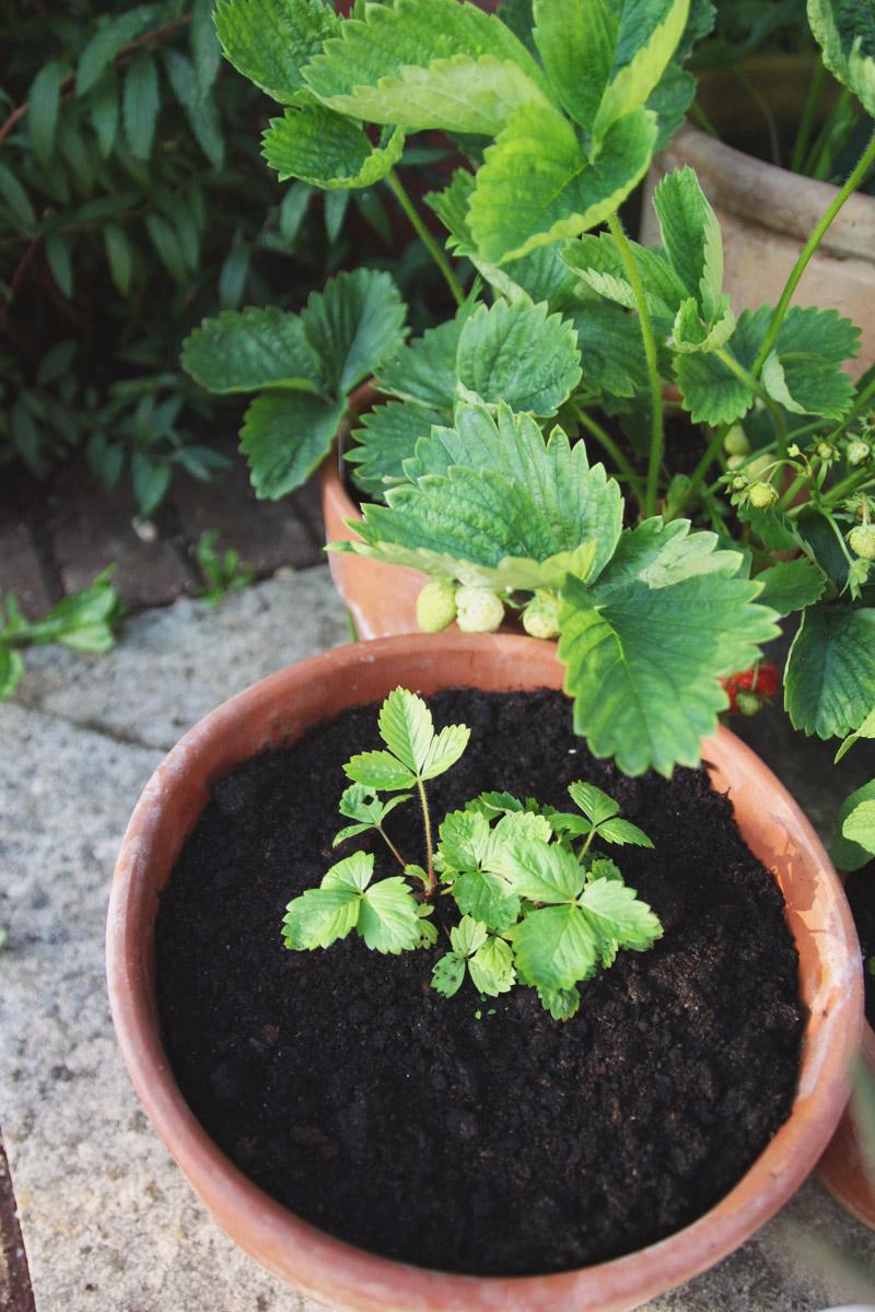 Raised Vegetable Garden Strawberries