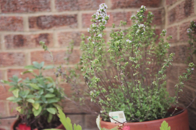 Raised Vegetable Garden - Oregano