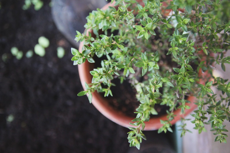 Vegetable Garden - Thyme