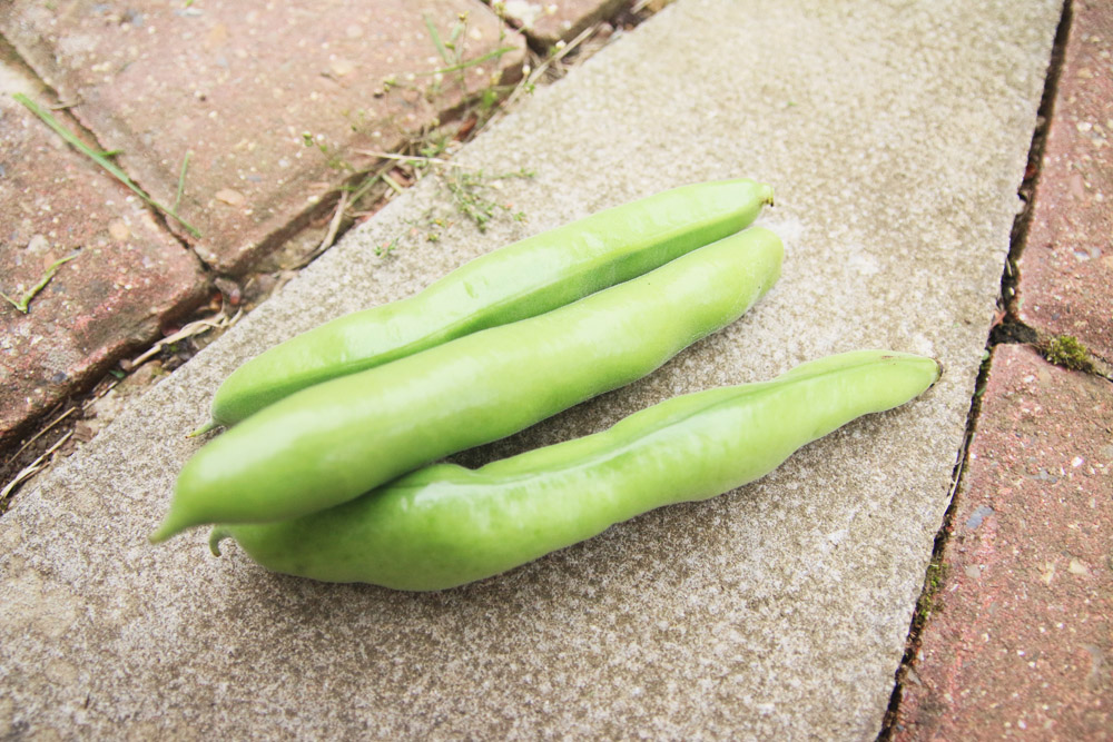 Vegetable Garden - Broad Beans