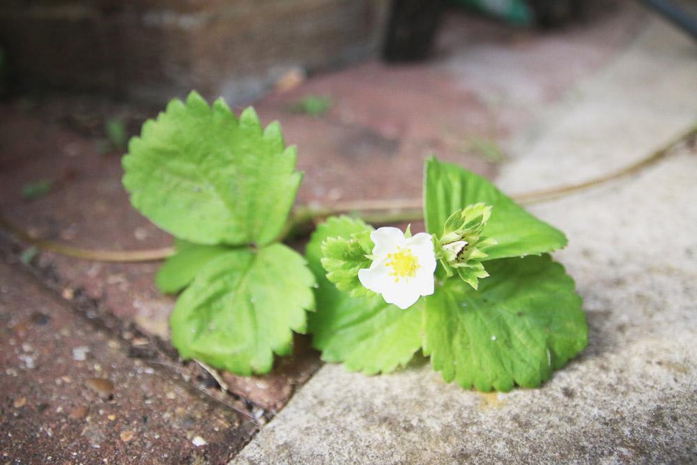 Vegetable Garden - Strawberries