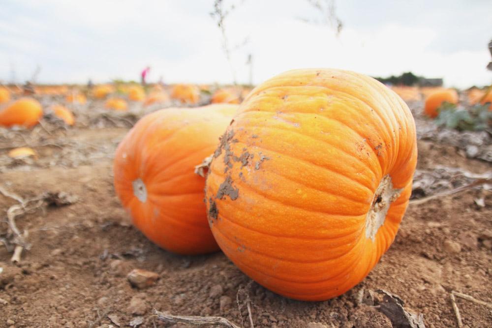 Pumpkins at PYO Pumpkins, Kent