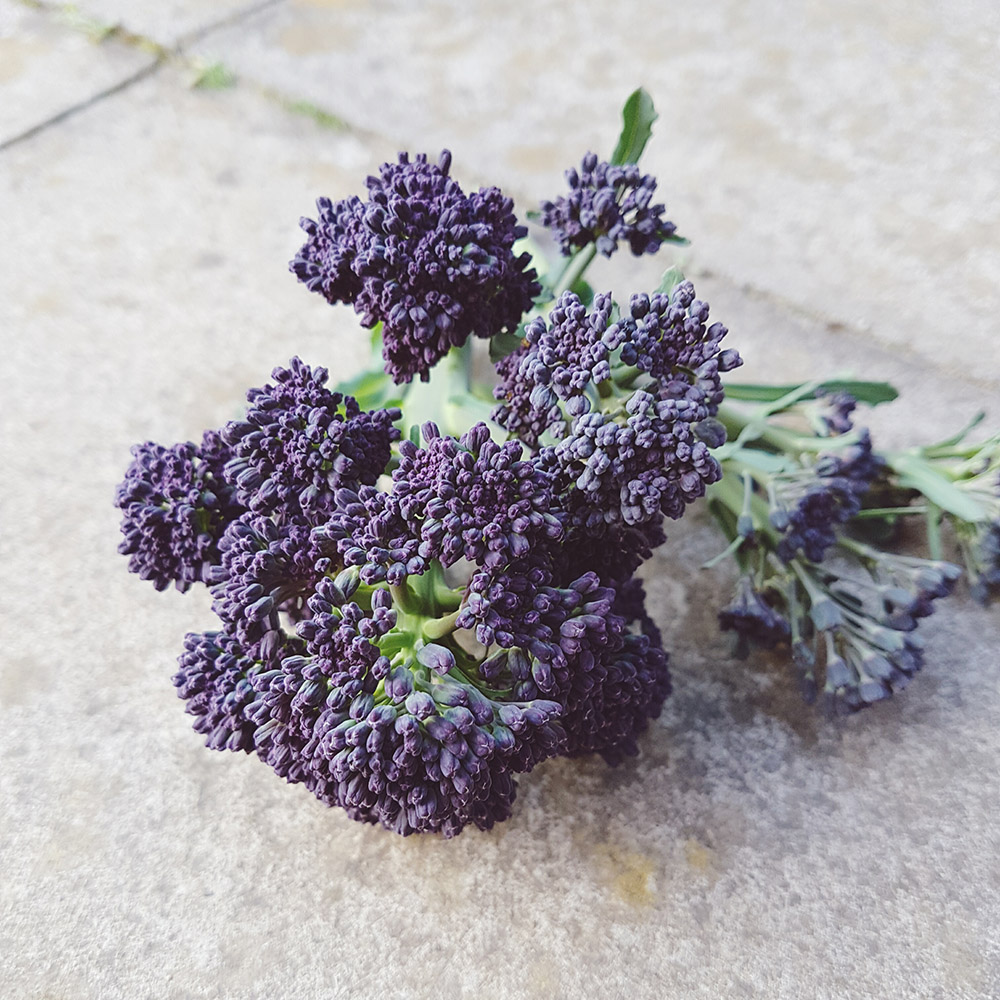 Purple Sprouting Broccoli Harvest