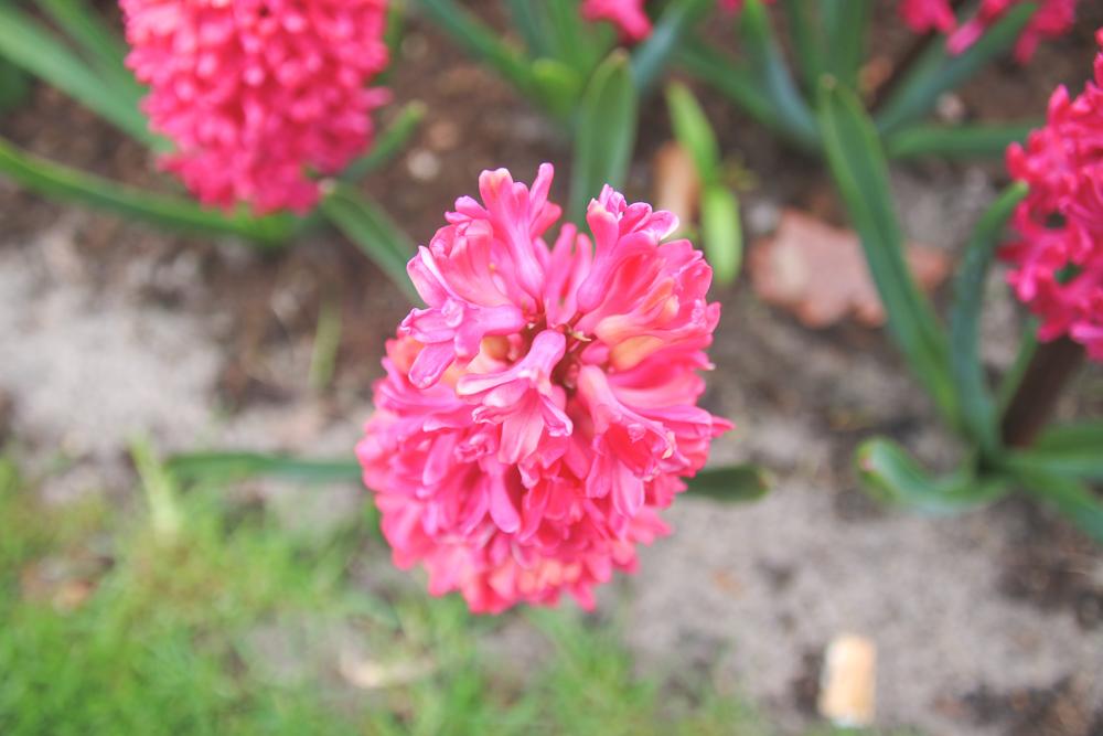 Hyacynths at Keukenhof Gardens, Holland