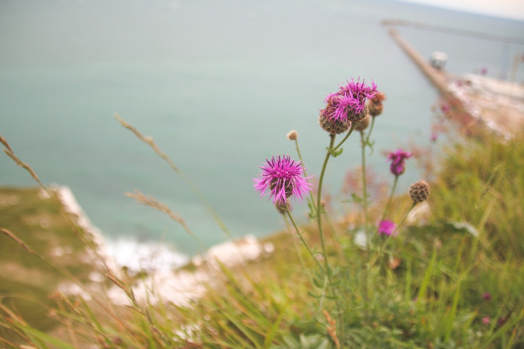 Flowers at White Cliffs of Dover