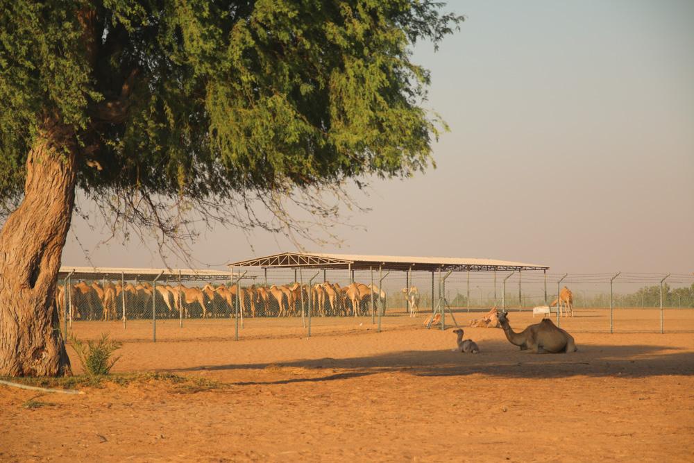 Camel Farm in the Dubai Desert