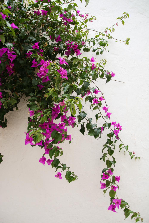Bougainvillia flowers in Tavira, Portugal
