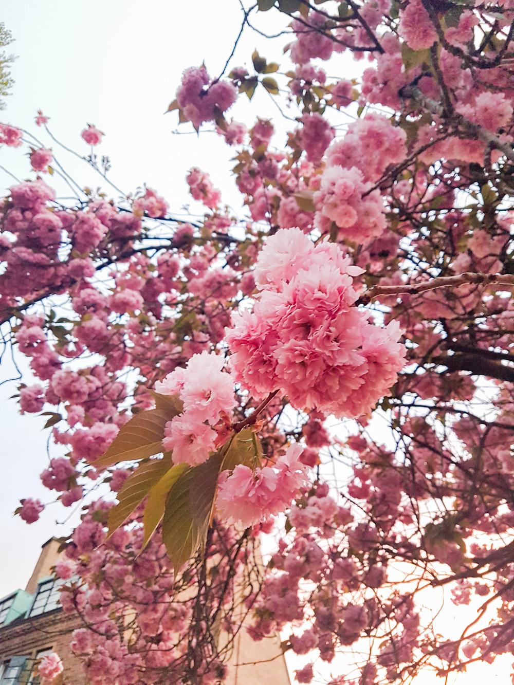 Cherry Blossom in Cambridge