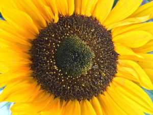 Sunflower-Open